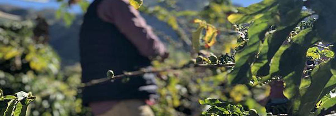 تنها مزرعه قهوه اروپا در خطر نابودی ، مزرعه 200 ساله ای که جاذبه گردشگری شد