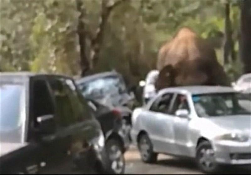 حمله فیل عاشق به 15 خودرو در چین